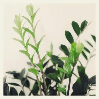 ZZ aka Zamioculcas Zamiiofolia je jedna z nejodolnějších rostlin. ☀️ sice má rád, ale zvládne i ten nejtemnější kout, který paprsky nikdy neviděl. Říká se o něm, že byste ho neměli zalévat více než kolikrát v měsíci platíte nájem (a je to pravda😉). Rostlina jako stvořená pro zapomětlivce a cestovatele! Máme ho i ve společenské, tak ho omrkněte. 😊// ZZ plant aka Zamioculcas Zamiiofolia is one of the most hardy plants. Although he likes ☀️, he can handle even the darkest corner of your room. It is said that you shouldn´t water it more than you pay your rent (and it is true😉). This plant is great for forgetful people and travelers. We have it in the common room, so check it out. 😊  . #kampusplantparent #kampusradi #urbanjungle #plants #forgetful  #kampuspalace #student #ostrava #ostravalife #ostravskauniverzita #vysokaskolabanska #zijtamkdetozije